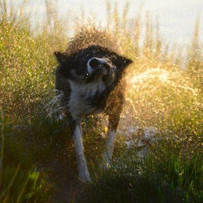 Dog shaking dry